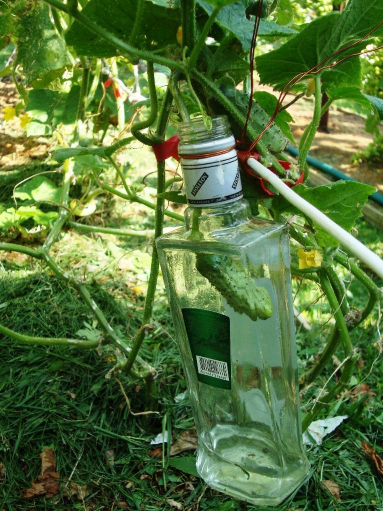 Выращивание огурцов в бутылках 685